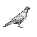 plošný odchyt holubů